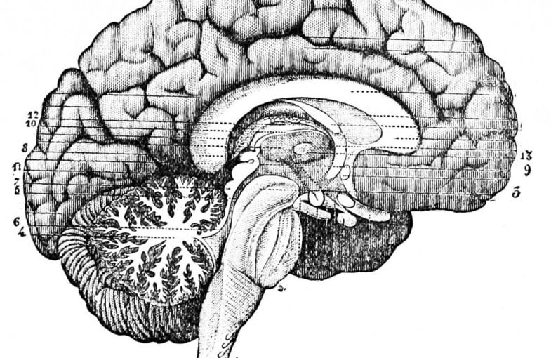 PSM_V26_D764_Longitudinal_section_through_the_center_of_the_brain