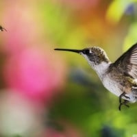 hummingbird_and_bee___chile-wallpaper-1152x768